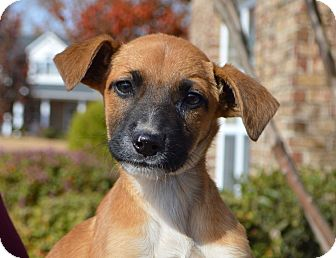 Labrador Retriever Mix Puppy for adoption in Plainfield, Connecticut - Melody