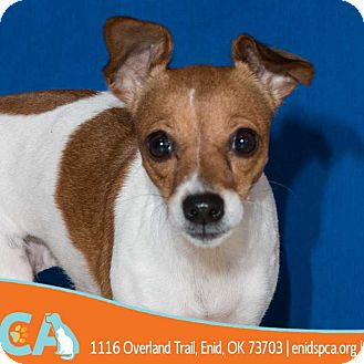 Chihuahua/Rat Terrier Mix Dog for adoption in Enid, Oklahoma - Impala