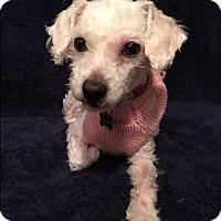 Adopt A Pet :: Chanel - Santa Clara, CA