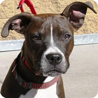 American Pit Bull Terrier/Boxer Mix Puppy for adoption in Gilbert, Arizona - Vader