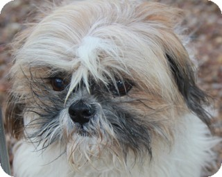Shih Tzu Mix Dog for adoption in Norwalk, Connecticut - Morrie - adopted!