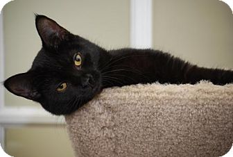 Domestic Shorthair Cat for adoption in Trevose, Pennsylvania - Pheobe