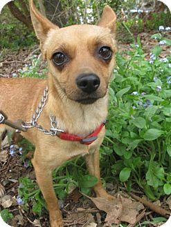 Chihuahua Dog for adoption in Elk Grove, California - BRIANNA
