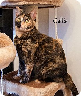 Domestic Shorthair Cat for adoption in Dallas, Texas - Callie