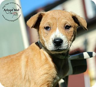 Beagle/Shar Pei Mix Puppy for adoption in Marlton, New Jersey - Annette