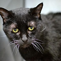 Domestic Shorthair Cat for adoption in Philadelphia, Pennsylvania - Minah