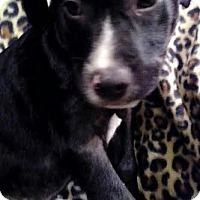 Adopt A Pet :: Henry - Hagerstown, MD