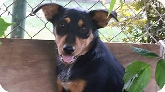 Australian Cattle Dog/Blue Heeler Mix Dog for adoption in Pikeville, Tennessee - Logan