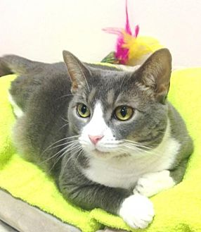 Domestic Shorthair Cat for adoption in New York, New York - Ms. Tuna (Manhattan)