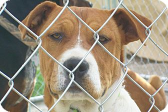 Pit Bull Terrier/American Pit Bull Terrier Mix Puppy for adoption in Mexia, Texas - Adelia
