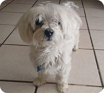 Maltese Dog for adoption in San Diego, California - Spanky