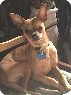 Chihuahua Dog for adoption in Columbus, Ohio - Connor