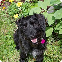 Adopt A Pet :: Lily - Rigaud, QC