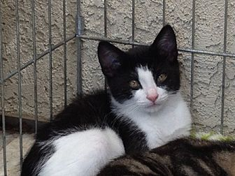 Domestic Shorthair Kitten for adoption in Sacramento, California - Mr. Chips
