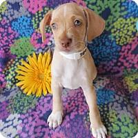 Adopt A Pet :: Mohammed Ali - Phoenix, AZ