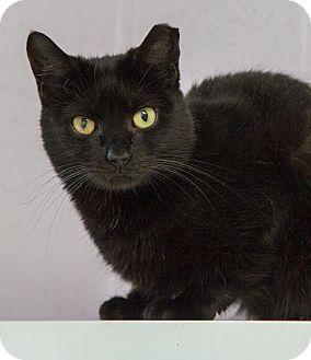 Domestic Shorthair Cat for adoption in Elmwood Park, New Jersey - Luke