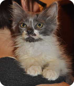 Domestic Longhair Kitten for adoption in La Canada Flintridge, California - Darcy