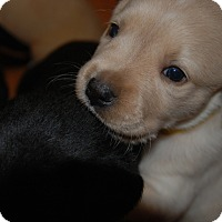 Labrador Retriever Mix Puppy for adoption in Hanover, Pennsylvania - Louisa May Alcott