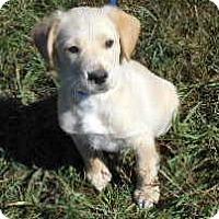 Adopt A Pet :: Big Red - Allentown, NJ