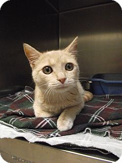 Domestic Shorthair Kitten for adoption in Chambersburg, Pennsylvania - Minnie