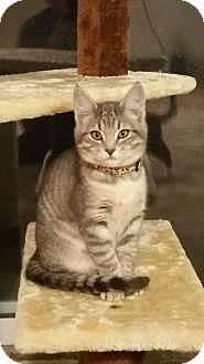 Domestic Shorthair Kitten for adoption in Fallon, Nevada - Roxy