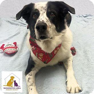 Australian Shepherd Mix Dog for adoption in Eighty Four, Pennsylvania - Sydney
