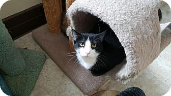 Domestic Shorthair Cat for adoption in Pittsburgh, Pennsylvania - Riker