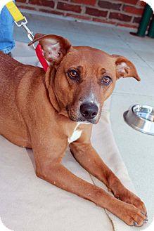 Labrador Retriever Mix Dog for adoption in Youngsville, North Carolina - Shasta ~Sponsored~Reduced Fee~