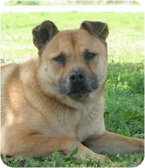 Shar Pei/Chow Chow Mix Dog for adoption in Carencro, Louisiana - Louise