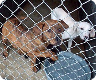 Plott Hound/Mastiff Mix Puppy for adoption in East Rockaway, New York - Sonny