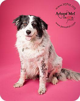 Great Pyrenees/Australian Shepherd Mix Dog for adoption in Flower Mound, Texas - Katy