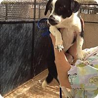 Adopt A Pet :: kalcifer - Phoenix, AZ