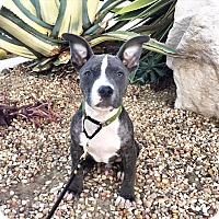 Adopt A Pet :: The Artist - Mission Viejo, CA