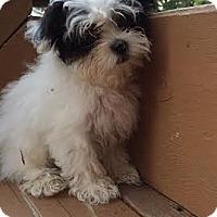 Adopt A Pet :: Ava - Algonquin, IL