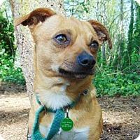 Adopt A Pet :: Buddy - Bellevue, WA