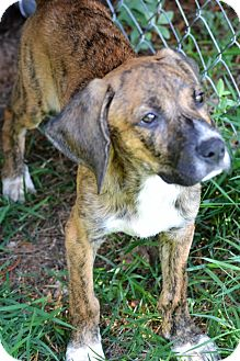 Plott Hound/Hound (Unknown Type) Mix Puppy for adoption in Albemarle, North Carolina - Carl