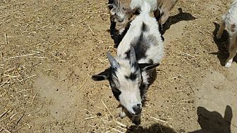 Goat for adoption in Palmdale, California - Magic