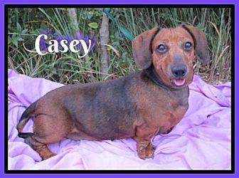 Dachshund Dog for adoption in Green Cove Springs, Florida - Casey