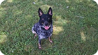 Cattle Dog/Blue Heeler Mix Dog for adoption in Haggerstown, Maryland - McGyver