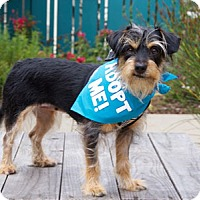 Adopt A Pet :: Lucy Wire Terrier - Pacific Grove, CA