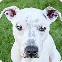 Adopt A Pet :: Chula - San Antonio, TX