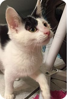 Domestic Shorthair Kitten for adoption in Grand Ledge, Michigan - Olya