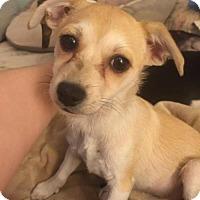 Adopt A Pet :: Bijou (Has application) - Washington, DC
