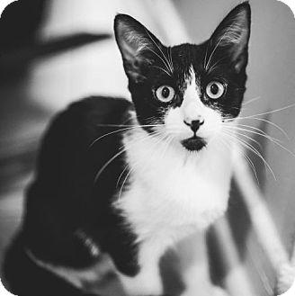 Domestic Shorthair Kitten for adoption in Verdun, Quebec - Pacas