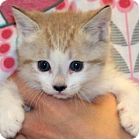 Domestic Shorthair Kitten for adoption in Wildomar, California - Margie