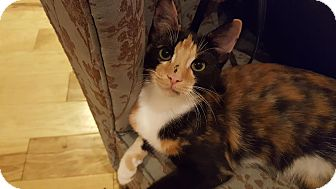 Domestic Shorthair Kitten for adoption in Marietta, Georgia - Chita