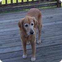 Golden Retriever Mix Dog for adoption in Coldwater, Michigan - Ginger (pending)