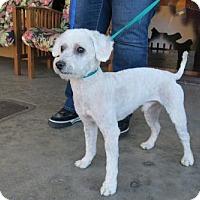Poodle (Miniature)/Bichon Frise Mix Dog for adoption in Santa Monica, California - Arlo (I'm a Good Boy!)