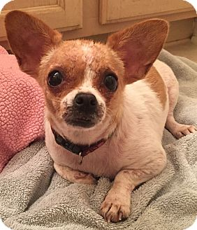 Chihuahua Dog for adoption in geneva, Florida - Cali