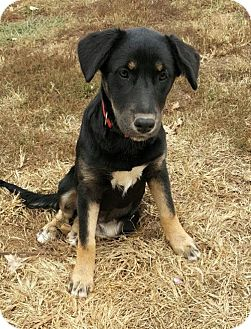 German Shepherd Dog Mix Dog for adoption in Knoxville, Tennessee - Curly